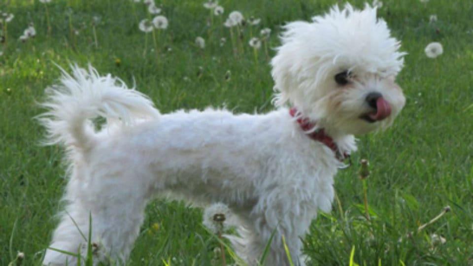 Plemena psů: Maltézský psík nebo hovorově Maltézáček