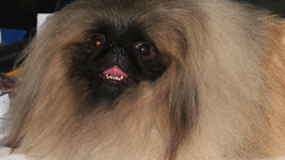 Psí plemena: Pekingský palácový psík