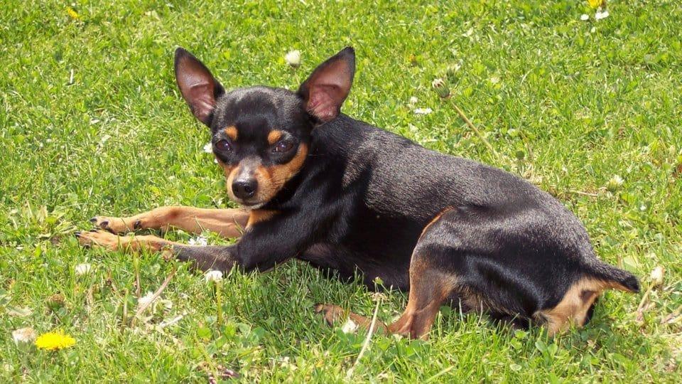 Plemena psů: Pražský krysařík