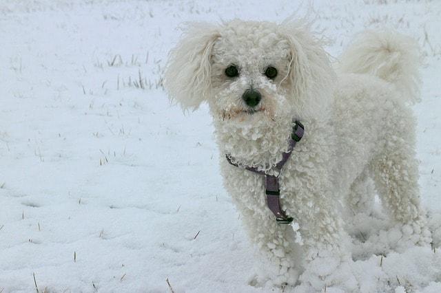 Pes pro alergiky: Bišonek v zimním období
