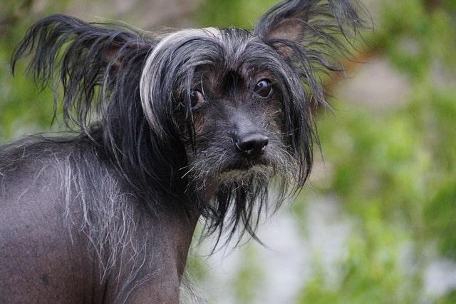 Pes pro alergiky: Čínský chocholatý pes