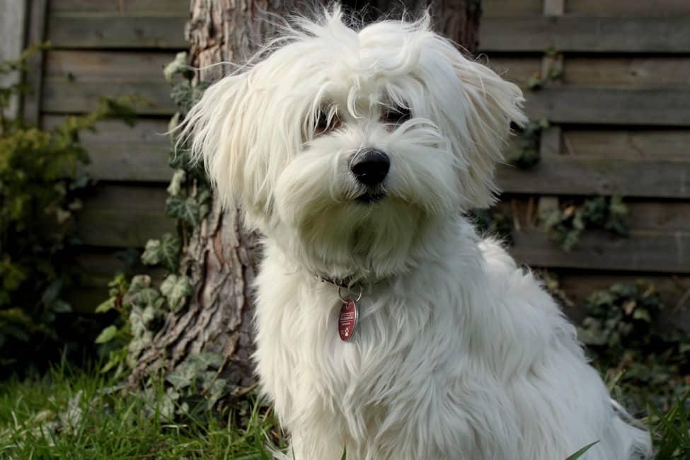 Pes pro alergiky: Havanský psík