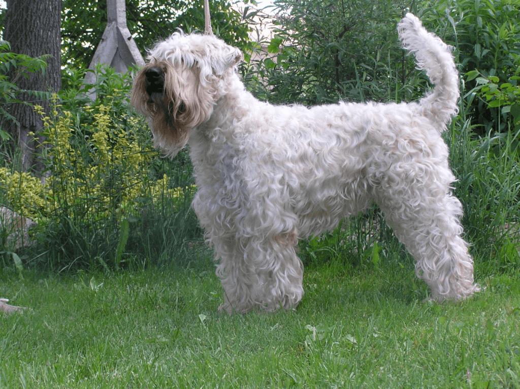 Pes pro alergiky: Irský jemnosrstý teriér