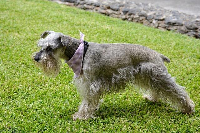 Pes pro alergiky: Knírač