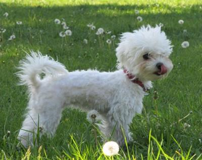 Pes pro alergiky: Maltézský psík