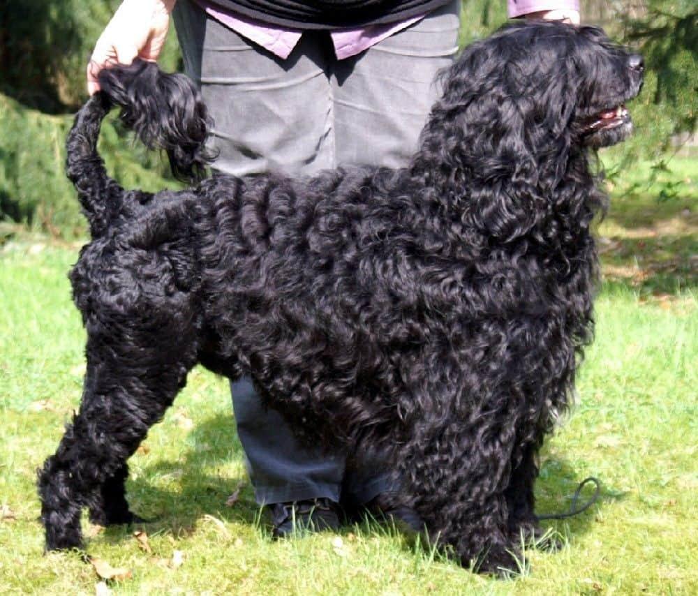 Pes pro alergiky: Portugalský vodní pes