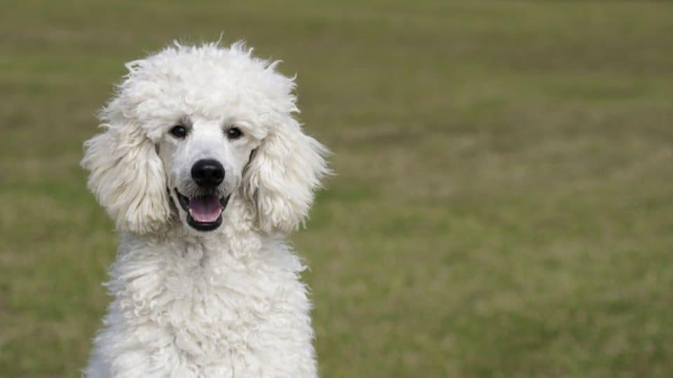Pes pro alergiky: Průvodce výběrem vhodného psa pro alergiky