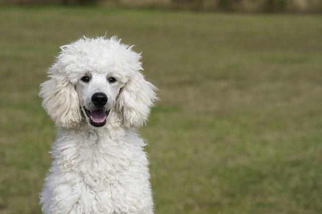 Pes pro alergiky: Pudl