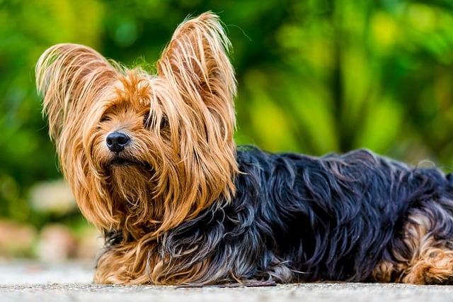 Pes pro alergiky: Yorkshirský teriér