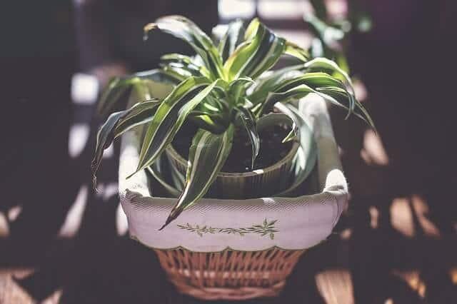 Nenáročná pokojová rostlina