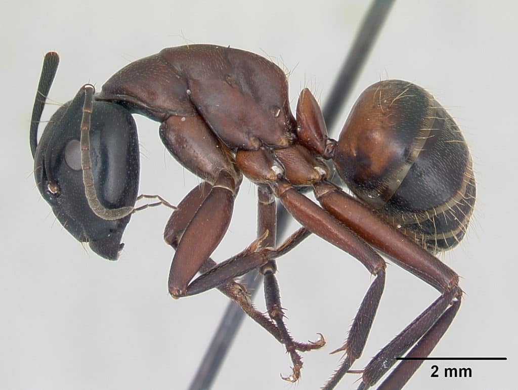 Mravenec dřevokazný